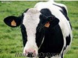 satılık 8 simental 11 hoştain damızlık inek
