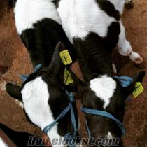 satılık, inek, düve, dana, holstein