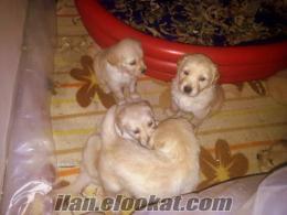 izmirden golden retriever yavruları
