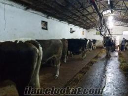 satılık inek, düve, holstein, simental,