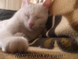 Bayrampaşada satılık van kedisi