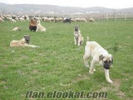 Davarcı Meydancı Adamcı satılık Köpekler
