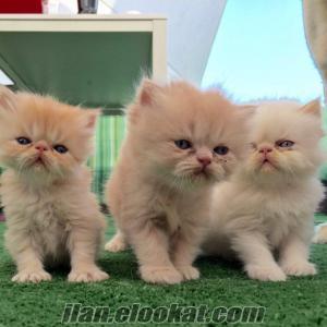 İran kedi yavruları