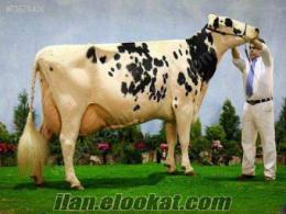 sahibinden satılık inek, dana, düve, büyükbaş