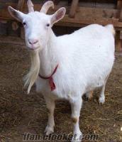 sahibinden damızlık saanen süt keçisi çepiç oğlak