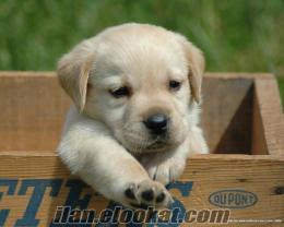 Ankarada sahibinden satılık labrador yavrusu kacırmayın!
