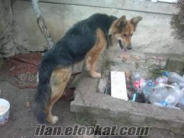 ankarada sahibinden k9 polis köpeği