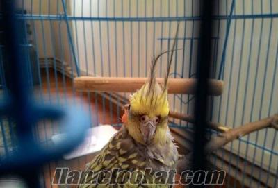 Kafesi ve oyuncakları ile birlikte 7 aylık erkek sultan papağan