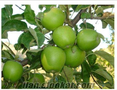 60-70 ton dalında satılık granny smith elma