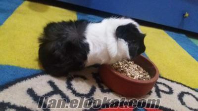 Satılık Guinea Pig +2 kafes