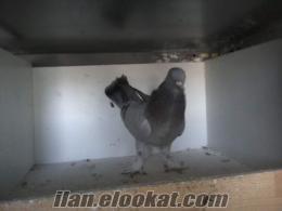 istanbul satılık güvercinler