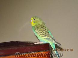 k.maraşta sahibinden satlık muhabbet kuşu