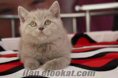 satılık scottish fold british shorthair yavru kedi