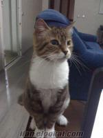 iran tekir kırması kedi ücretsiz veriliyor