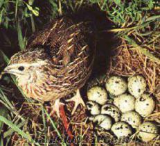 Satılık Jumbo Bıldırcın ve Yumurtası