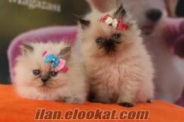 satılık himalayan yavruları petonya petshop
