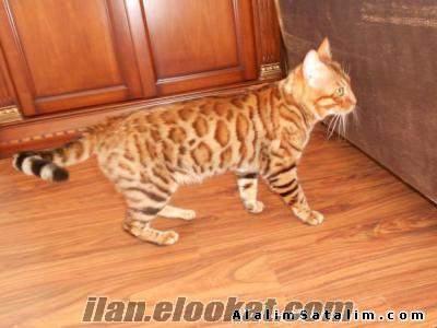 Safkan orijnal bengal kedi yavrulari mini leoparlar