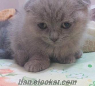SATILIK SCOTTISH FOLD YAVRULAR