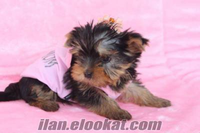 satılık york shıre terrier yavruları