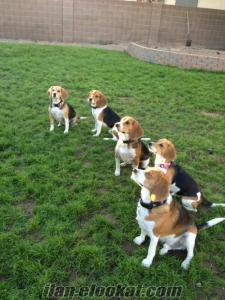 satilik beagle yavrulari