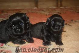 çanakkalede sahibinden anne altından satılık pekines köpek