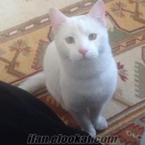van kedisi oğluma van kedisi eş arıyoruz