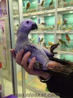 satılık evcil ve konuşkan jako papağanı