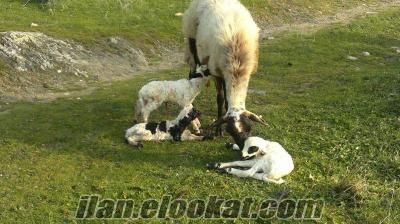 Safkan Gebe Sakız Koyunlar ve Sakız Koçlarım Acil Satılıktır ... Safkan Gebe Sak