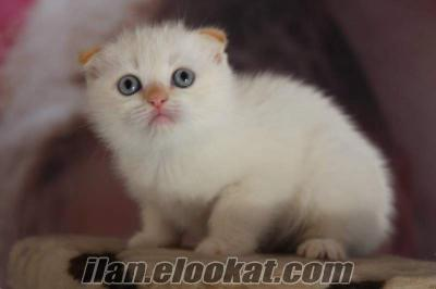 SATILIK SCOTTISH FOLD RED POİNT YAVRULARI PETONYA PETSHOPTA