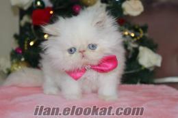 satılık ıran persian yavruları petonya da