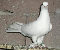 oyunlu güvercin Eyüpde