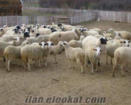 koyun sütü satılık ankara