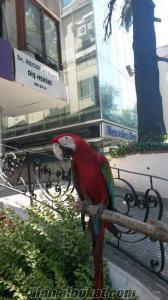 Evcil konuşan kırmızı ara macaw papağanı bobo