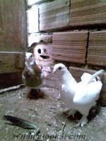 sahibinden satılık bango güvercin