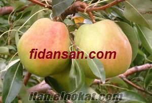 Akyurt elma fidanı tüplü