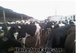 devofis tarım hayvancılık ltd şti olarak inek alım satımı yapılır