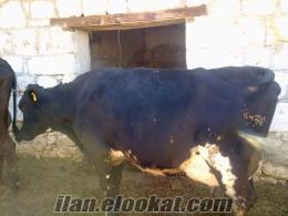 5 adet ala buzalayıcı tolam 100 kilo sütü olna inek