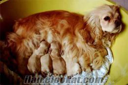 mükemmel amerikan kukır yavruları anne altından