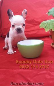 satılık french bulldog köpeği