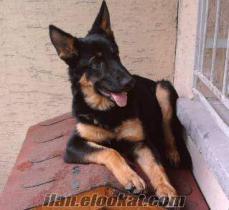 Konya'da safkan orjinal düşük bel Alman Kurdu-k9 köpek