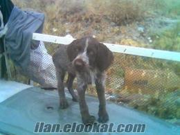 burdur'da sahibinden satılık av köpeği (draktar)
