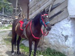 sahibinden satılık arap atı