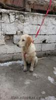 Ankaradan golden yavru köpek isteyenler ulaşsınlar