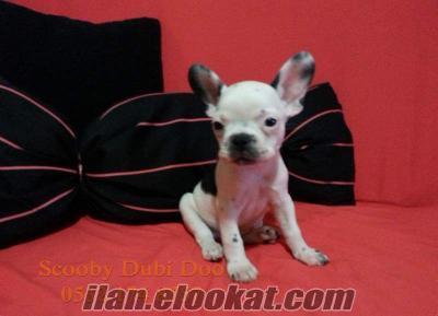 french bulldog satılık yavru