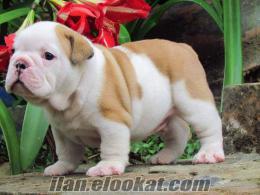 Sevimli ingilizce bulldog yavru