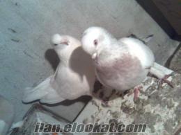 erdekde satılık damızlık oyunlu güvercin