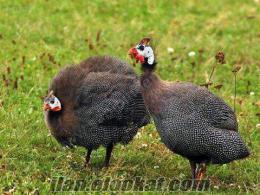 Antalya Abdurrahmanlarda beç tavuk ve yumurtası