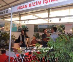 BODURCEVİZFİDANI-SERTİFİKALI-AMERİKAN CEVİZİ/SAMSUN