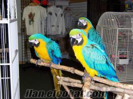 İstanbulda papağan kuş ve bereketli papağan yumurta