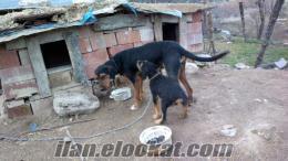 Satılık Kopay Av Köpekleri